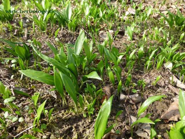 Frühjahrsputz: Mit Bärlauch Darm und Blut in Schwung bringen!
